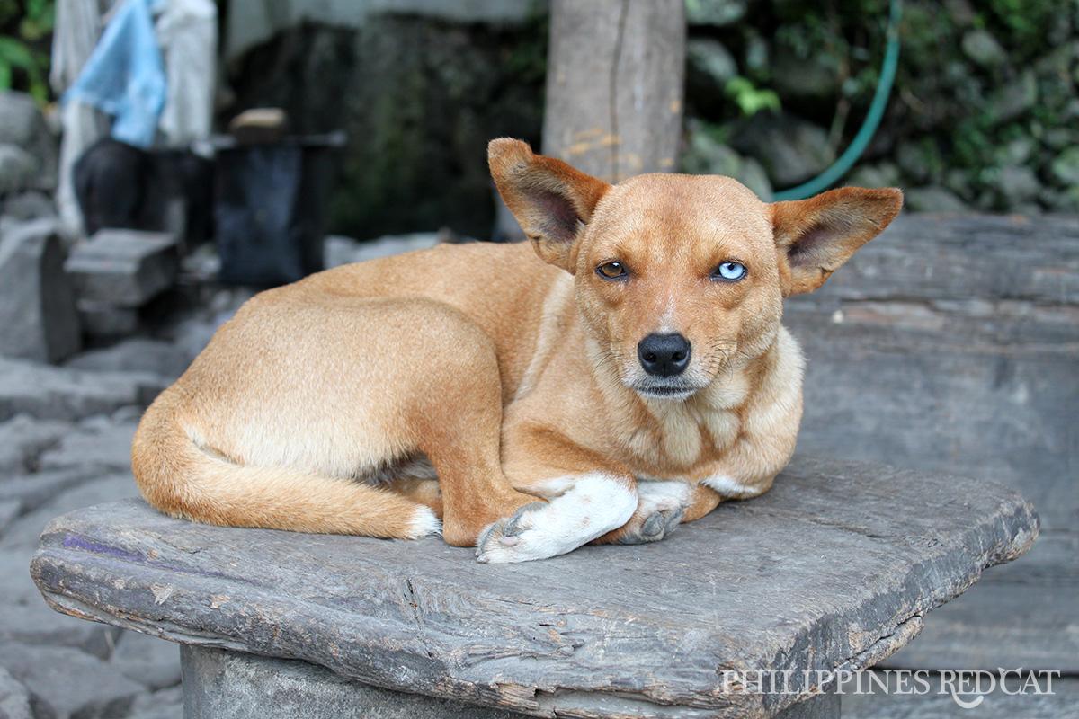 Banaue Dog