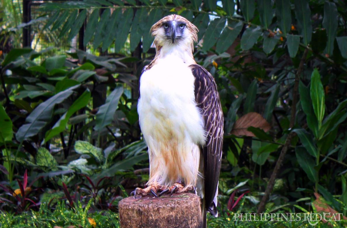 Aigle de Philippine