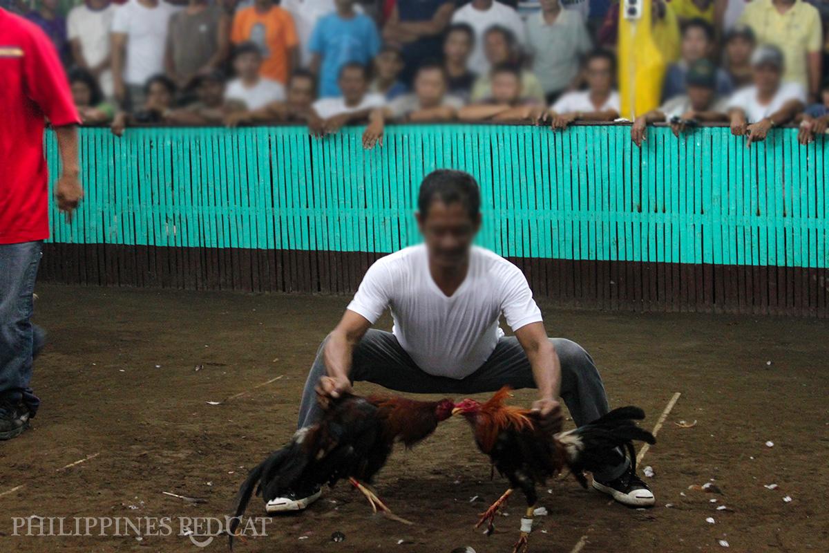 Philippines Cock Fighting 2