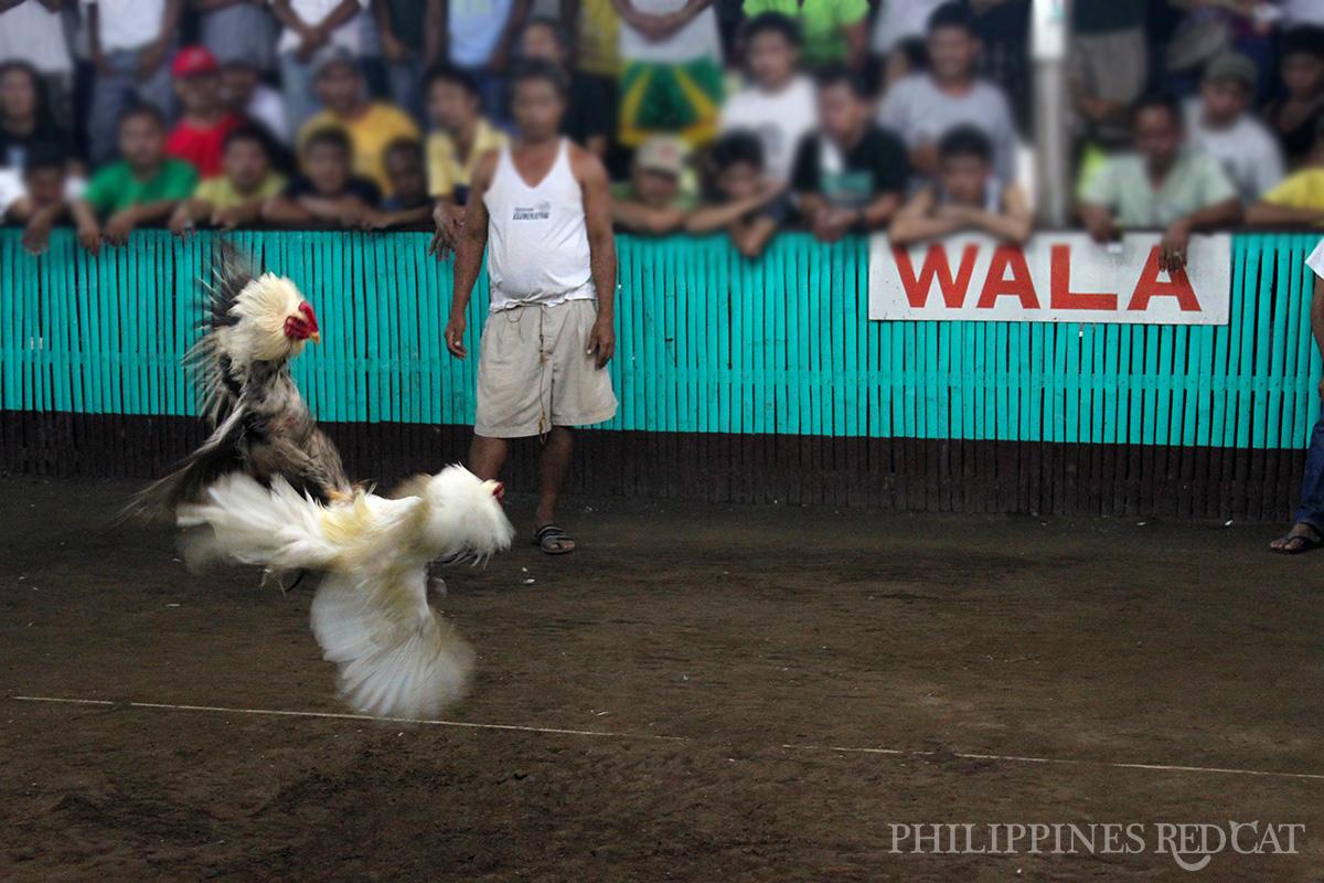 Philippines Cock Fighting 4