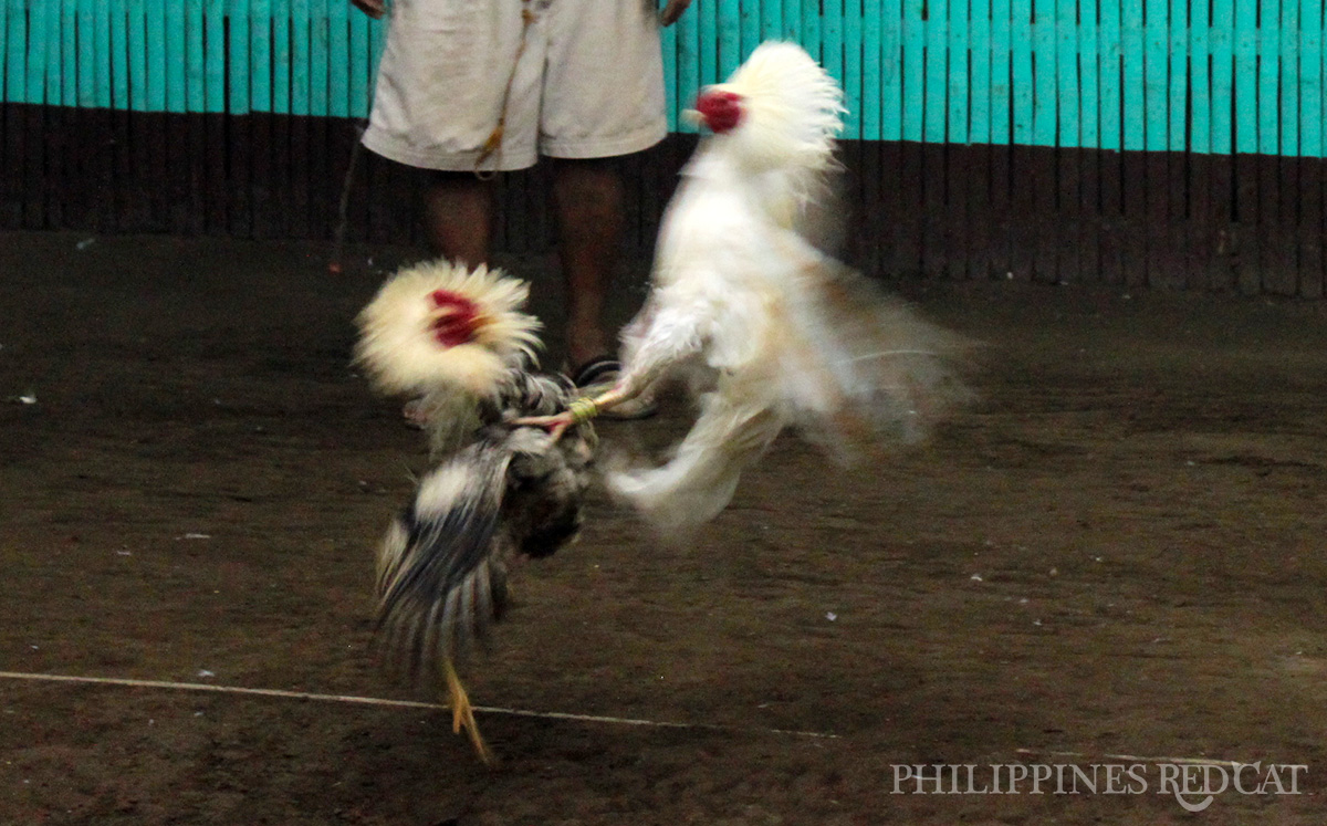 Philippines Cock Fighting 5